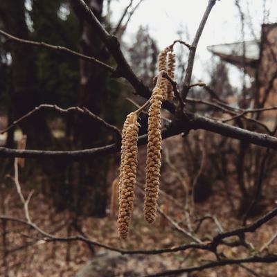 Орешник зацвёл Дерево природа ветки весна орешник цветение