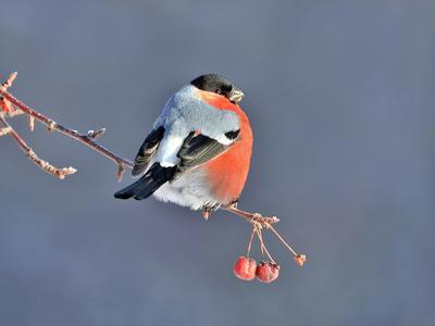 На закате дня природа птицы фотоохота снегирь