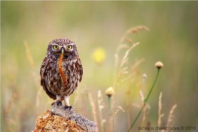 Домовый сыч со сколопендрой my-mriya owl