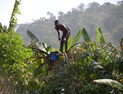 Самогонщик Африка Нигерия самогон пальма вино