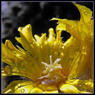 Солнечные ванны Parodia mutabilis кактус цветы вода капли солнце