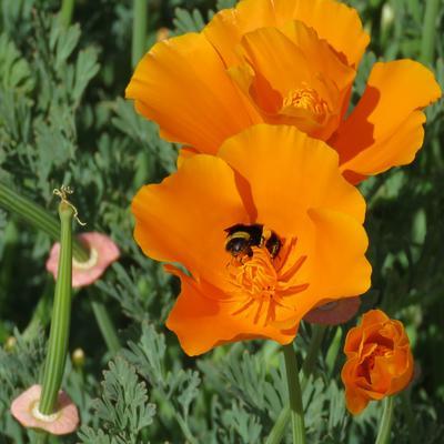 Калифорнийский золотистый мак растение цветок калифорнийский золотистый мак эшшольция калифорнийская california golden poppy eschscholzia californica flower plant шмель насекомое опыление bumblebee insect pollination