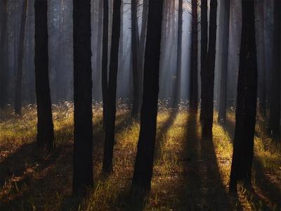Свет, стволы и тени. Утро лес свет тени