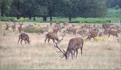 Стадо оленей в Ричмонд-парке июль Англия Кингстон-на-Темзе Ричмонд-парк благородные олени