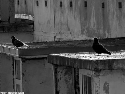 Птица мира. россия ростов ростов-на-дону голуби птица птицы черно-белое мир контраст город дом улица пасмурно крыша день