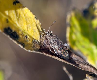 Маскировка Клопы Булавники Rhopalidae Raynox маскировка