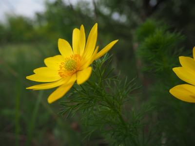 Пион узколистный, желтый. Горицвет. цветы природа желтый