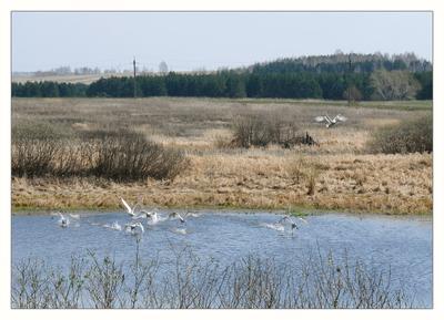 Взлетная полоса Дикие лебеди озеро перелетные птицы весна