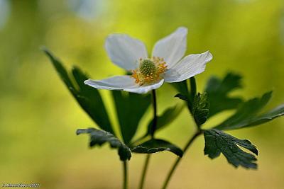 Анемона весна цветы анемона