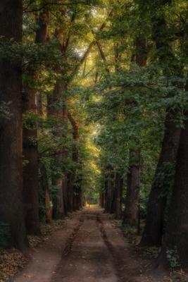 Дубовая аллея. роща пейзаж природа дуб зелень лето деревья аллея лес