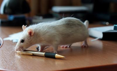 Крыса-Хаска 2 Крыса авторучка домашняя грызун