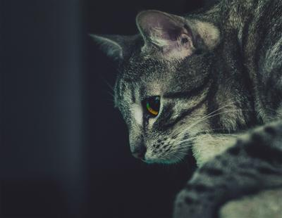 серый кот пушистый серый уют