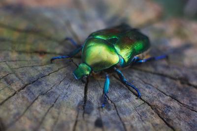 бронзовка гладкая природа насекомые макро