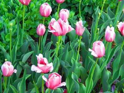 ***Тюльпаны  в сквере на Пресне Moscow весна тюльпаны