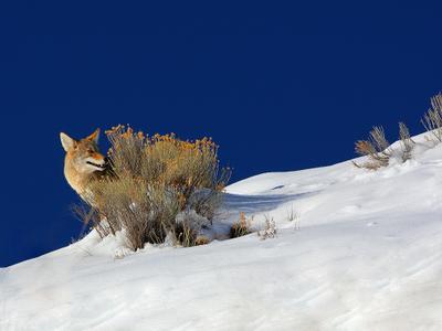 Застенчивый койот...