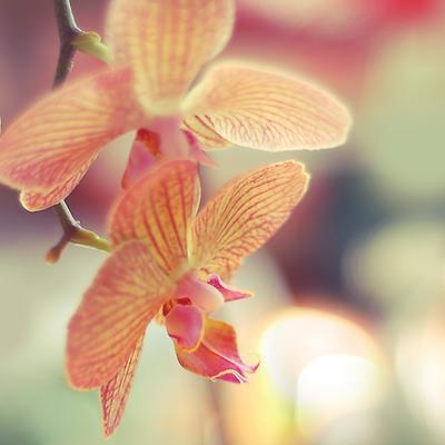 * орхидея