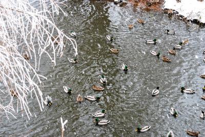 Зимовье уток река Волга зима утки