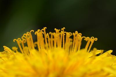 Одуван цветы макро