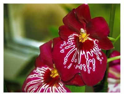 Miltoniopsis II орхидеи, цветы, цветок, орхидея, мильтониопсис