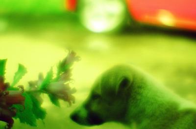 монощенок щенок монокль зелёное