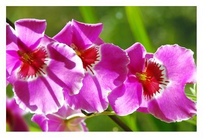 Miltoniopsis III орхидея