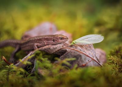 вот так встреча ящерица природа лес макро златоглазка