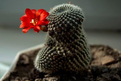 Колючее чудо. природа цветок кактус