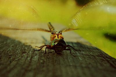 к взлету готов! стрекоза крылья полет насекомое