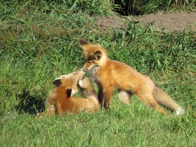 Лисята Fox Waterton Lakes National Park Лисята Вотертон Канада