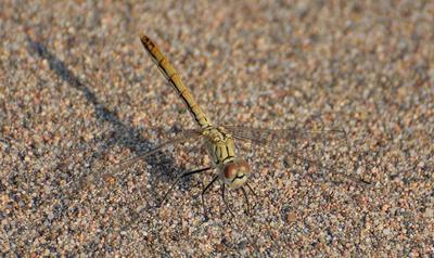 авиатор пустыни стрекоза