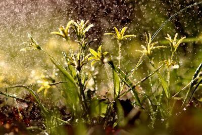 Гусиный лук в капельках дождя. Цветы гусиный лук лето дождь