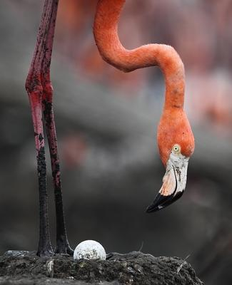 *** фламинго, Куба