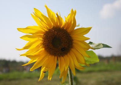 Как быстро пролетело лето :( сентябрь бабье лето подсолнух