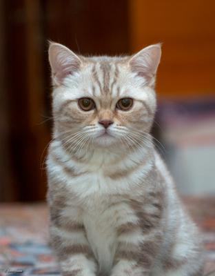 Симпатяга кошка котёнок шотландская скоттиш страйт портрет
