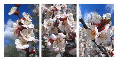 Абрикосы. Триптих абрикосы в цвету