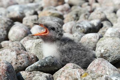 Соло Птенец серебристая чайка