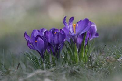 Ну вот и к нам пришла Весна... цветы крокус