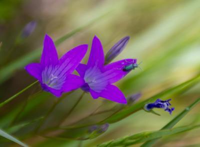 *** колокольчики цветы насекомые жуки полевые