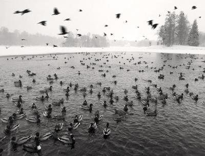 Царскосельский птичий базар зима утки вороны парк пруд