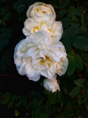 Шиповник Природа растение шиповник цветы лето