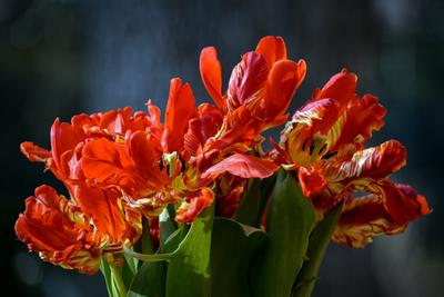 Костёр Тюльпаны