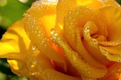 *** Роза капли дождя