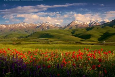 Цвета затянувшейся весны бишкек киргизия кыргызстан горы маки весна лето lazy_vlad lazyvladphoto bishkek kg kyrgyz kyrgyzstan landscape