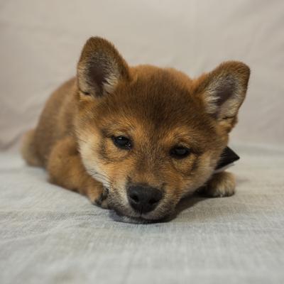 """Рыжая """"моська"""" собаки Япония сиба-ину самурай шиба щенок малыш"""