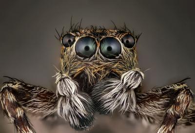 паук скакун паук скакун супер макро