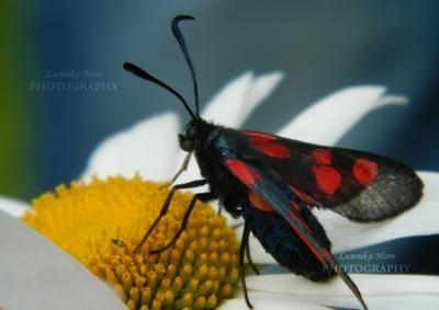 *** Пестрянка Таволговая пестрянка бабочка насекомое цветок нивянник Сибирь лето природа Lunnika-Horo