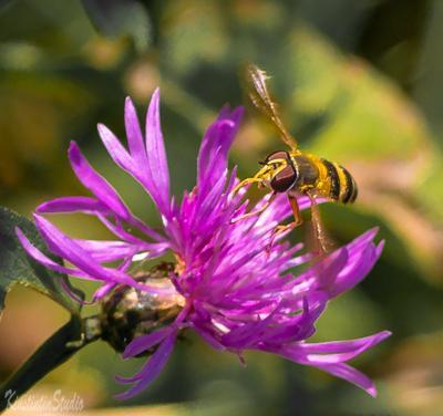 Из серии на цветке... на цветке муха осень сентябрь