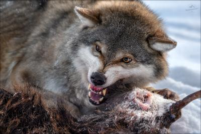 Драки хочешь?! волк wolf красная шапочка беларусь canis lupus red riding hood серый обыкновенный евразийский европейский