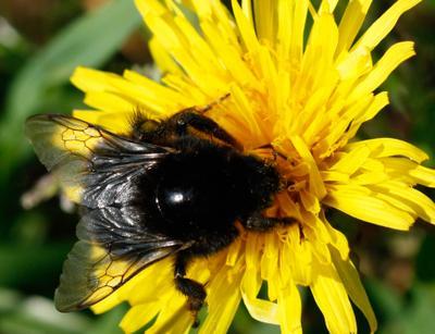 Хрупкость бытия Пчела макро природа насекомые крылья цветок лето