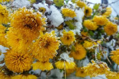 *** цветы снег